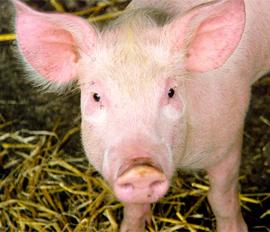 Prix Porc viande fumée - Les Sentier d Afrique