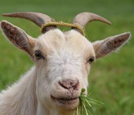 Viande fumée Chèvre prix grossiste viande